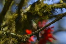 Restauración de bosques andino, Nanegalito, Ecuador