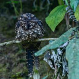 """Los chotacabras son aves nocturnas, algunas muy raras y con comportamientos extraños. Muchas especies son rastreras y se posan a lo largo de caminos. También muchas de ellas ponen sus huevos en el suelo sin construir nido. Debido a esto, en algunos sitios la gente los llama pájaros """"vagos""""."""