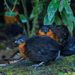 El corcovado Dorsioscuro (Odontophorus melanonotus) es un ave endémica del Chocó y su estado de conservación es en peligro de extinción debido a la pérdida de hábitat. Los corcovados son un tipo de codornices rechonchas que andan muy adentro en el bosque. Son muy difíciles de ver, pero todo el tiempo se les escucha (Fuente: Santiago Molina). Esta es otra de las aves que Ángel Paz ha recrutado en su refugio. Salen del bosque en un sitio específico al momento que Ángel les llama.
