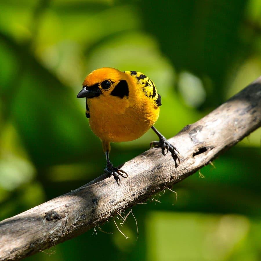 La Tangara Dorada es otra ave de la familia Thraupidae al igual que la Tangaras Montanas. Esta es de menor tamaño, pero su color dorado es impresionante. Tienen un característico parche negro en la oreja. Son comunes y se mueven por los bosques de estribación y sub-trópicos andinos, generalmente en bandadas mixtas. Hembra y macho son del mismo color (Fuente: Santiago Molina).