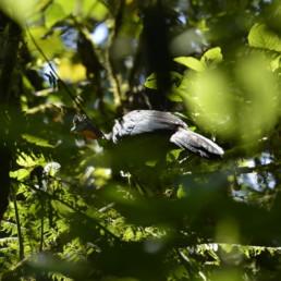 La Pava del Chocó (Penelope ortoni) pertenece a la familia de los Crácidos, una familia con especies en peligro de extinción debido a la intensa cacería. Las pavas son arborícolas y frugívoras, es decir comen frutas, especialmente de las palmas. Esta pava del Chocó es muy rara y localista y como su nombre lo indica endémica a esa región (Fuente: Santiago Molina).